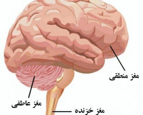 هوش مالی - سیستم تصمیم گیری در مغز - تصویر سازی مغز - ساختار مغز - i,a lhgd -هوش مالی مغز
